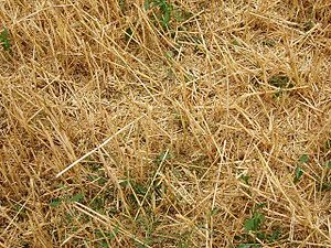 English: Chaff. A wheat field after the combin...
